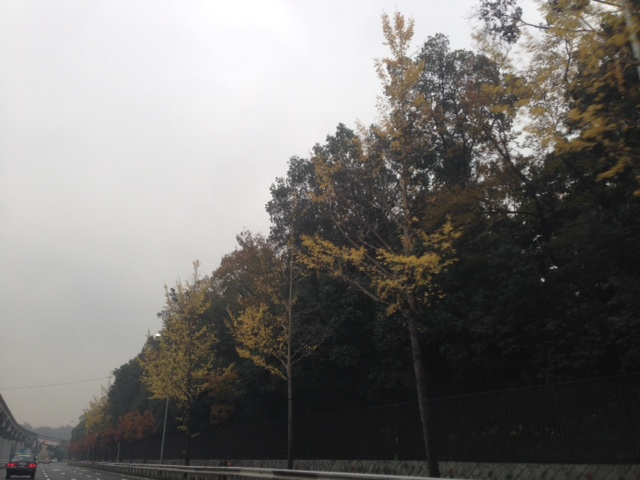 20171108 街路樹が色づいてきました。
